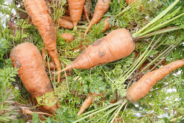Garden Carrots pulled in December!