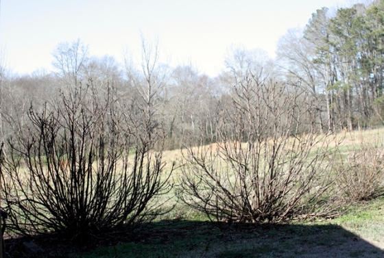 A picture of the fig trees taken today. Stickily looking things in winter, but they still retain a nice shape.