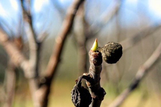 You can see two of last year's figs now dried on the twig. Ms. Jeannie wonders if this is inspiration for the new shoot!