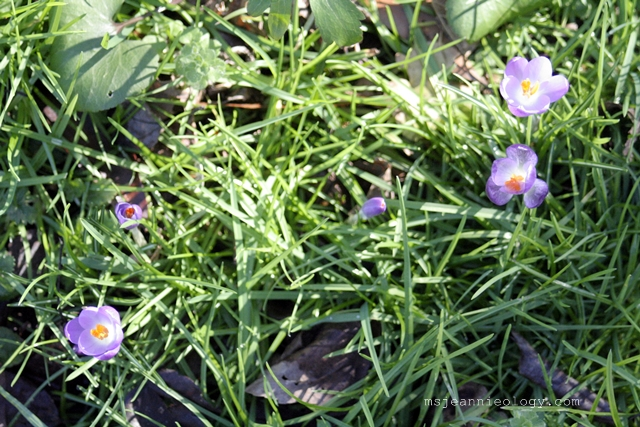 The crocus' are here!