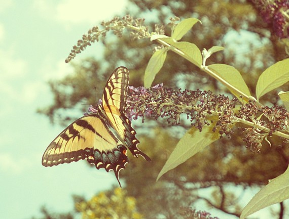 Swallowtail Butterfly photograph by Michelle Reynolds