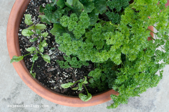 Parsley, spinach and gerbers!