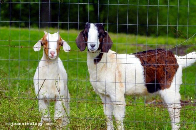 goats111