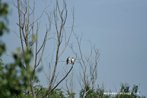 A pair of red-tailed hawks.