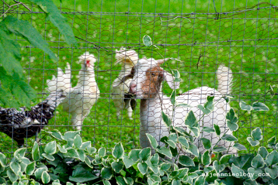The chickens were equally captivated by Nyle's antics.