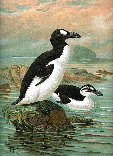 The Great Auk. Photo courtesy of itsnature.org