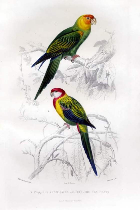 Carolina Parakeet. Photo courtesy of extinct-website.com.