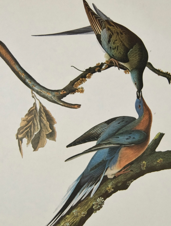 Passenger Pigeons. Photo courtesy of rareprintsgallery.com