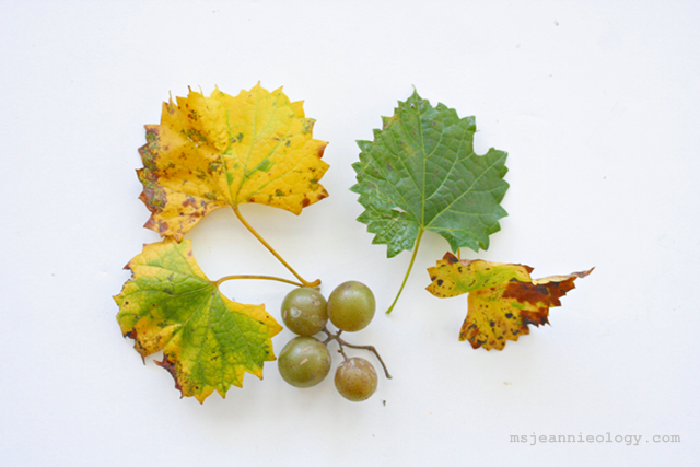 The Scuppernong Grape Vine