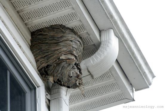 The baldfaced hornet nest now 8 months old.