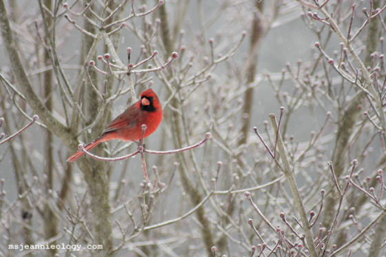 Male cardinal. The brighter the red the more attractive he is to the ladies:)