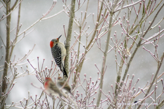 The Red-Bellied Woodpecker - a fast flyer, Ms. Jeannie had to be quick with her camera.