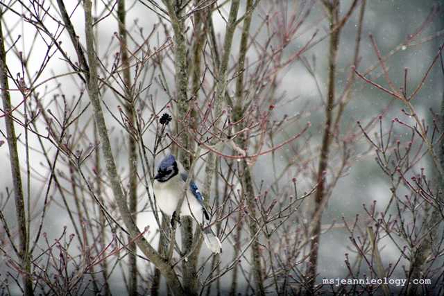 Blue jay! They also mate for life and there is no color difference between boy and girl varieties.