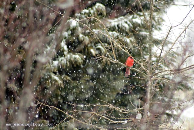 bird_cardinal
