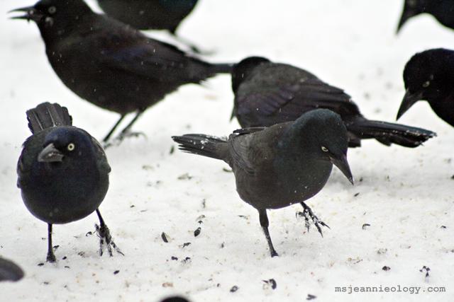 Brewer's Blackbirds!