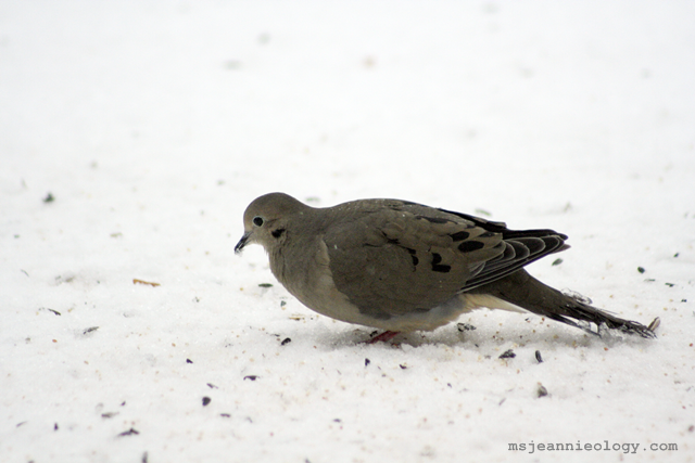 Mourning Dove. These are Ms. Jeannie's favorites in the yard because they mate for life.