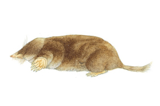 Hairy Tailed Mole. Illustration courtesy of mnh.si.edu