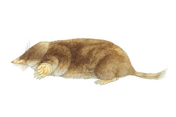 Hairy Tailed Mole. Illustration courtesy of mnh.si.edu