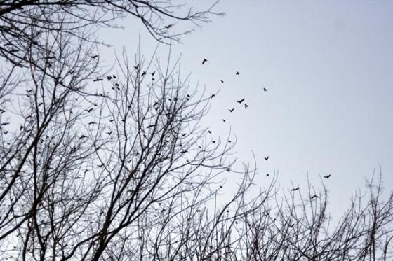 manybirds1