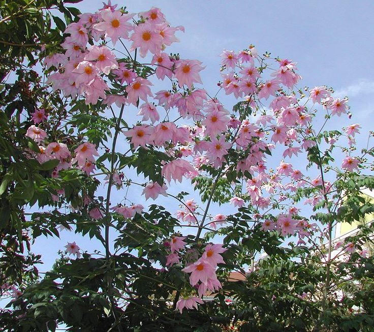 treedahlia