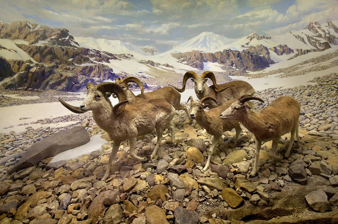 The Field Museum of Chicago's Ovis Poli diorama currently on display at the museum.  These specimens were  brought back by Theodore Roosevelt Jr. diorama. Photo via the Field Museum.