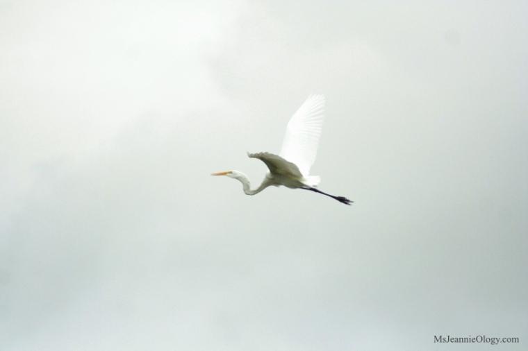 florida_heron