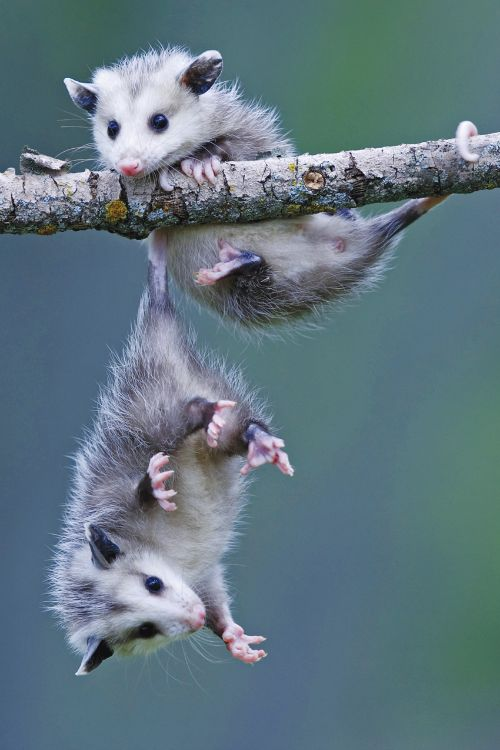 Baby opposums!