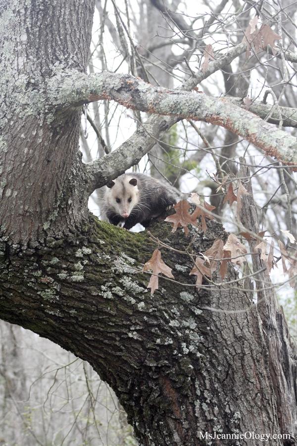 possum2