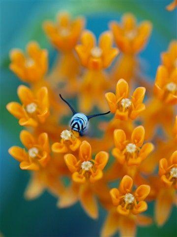 milkweed4