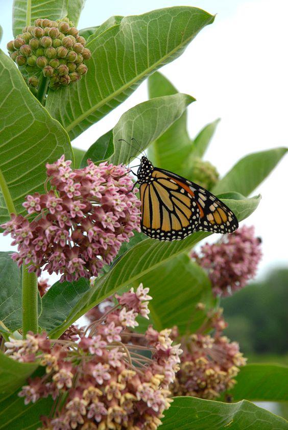 monarch_nectar