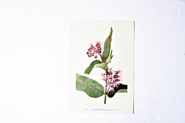 Vintage 1953 botanical print of the showy milkweed painted by Mary Vaux Walcott.