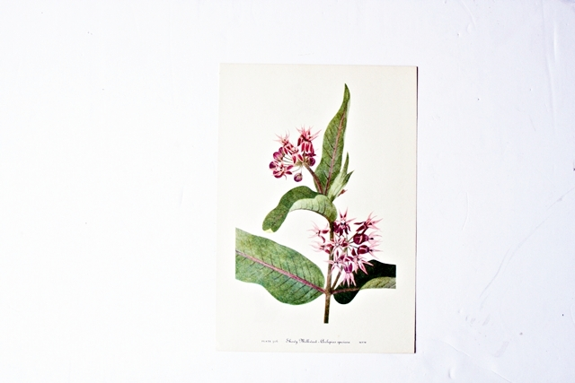 Vintage 1953 botanical print of the showy milkweed painted by Mary Vaux Walcott.