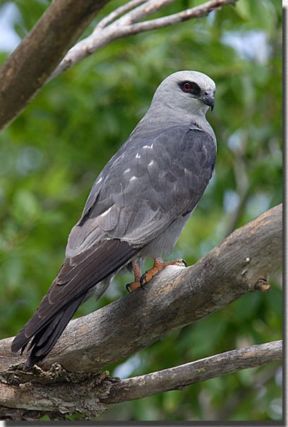 The falcon-like Mississippi Kite in all it's silvery beauty. Photo via pinterest.