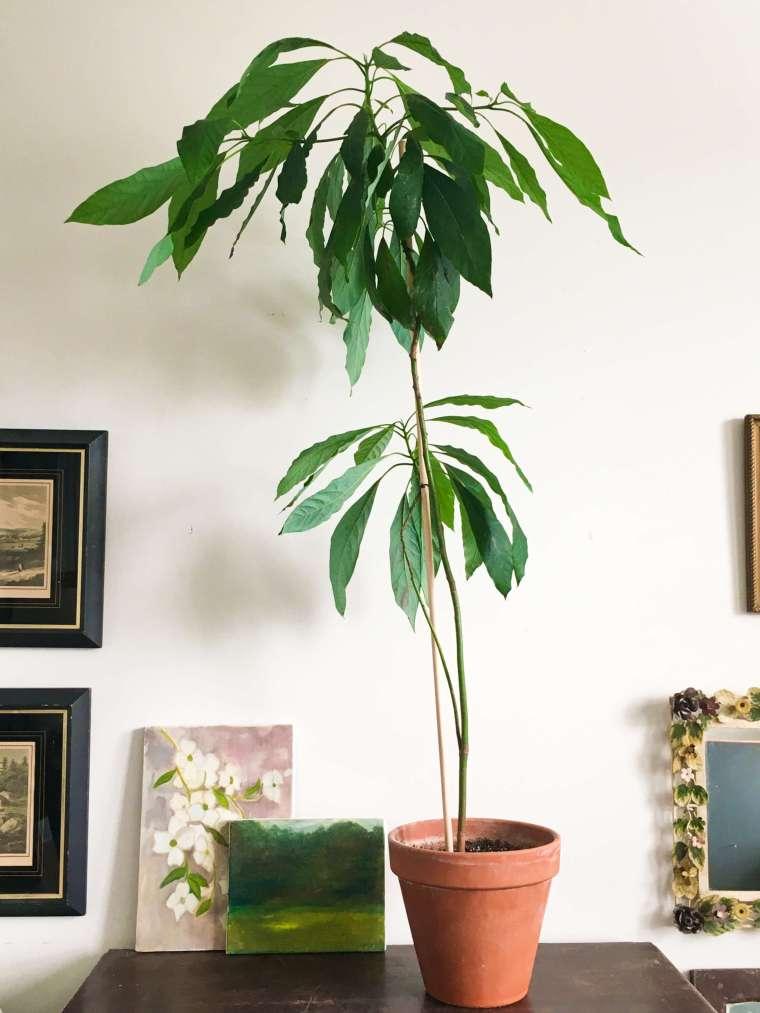 indoor-avocado-plant-1-avi (1)