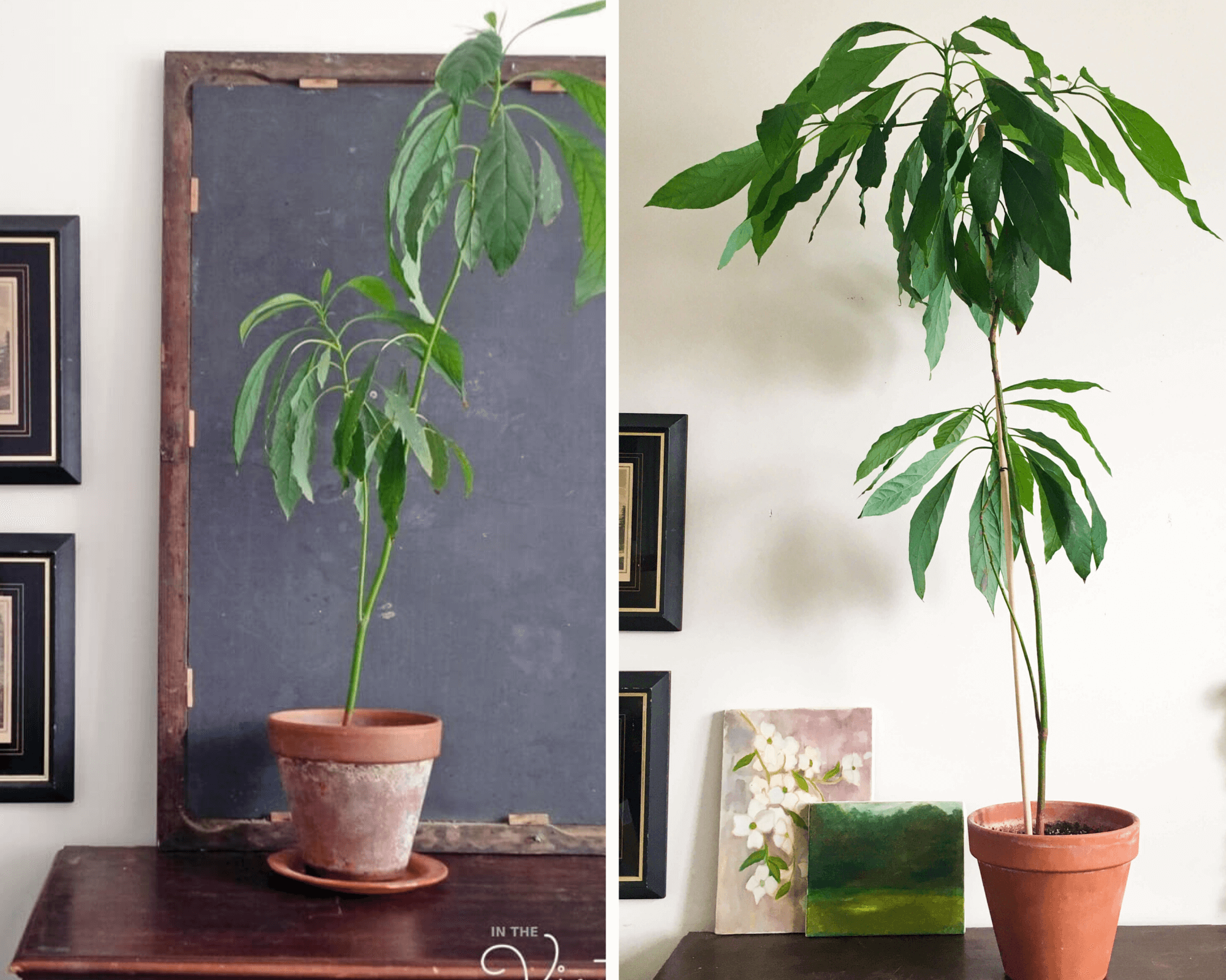 avocado-tree-growing-stages